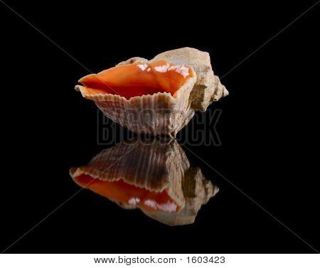 big seashell reflecting bright on black background poster