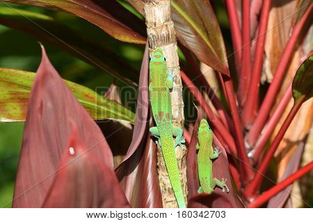 two gold dust day geckos in a garden in Hawaii
