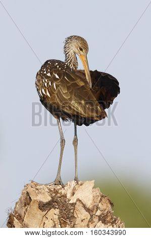 Limpkin Preening Its Feathers On A Palm Stump - St. Petersburg, Florida