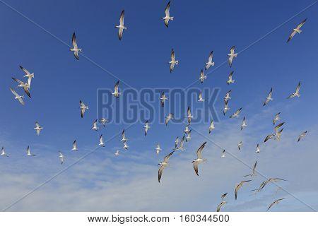 Flock Of Black Skimmers In Flight - Florida