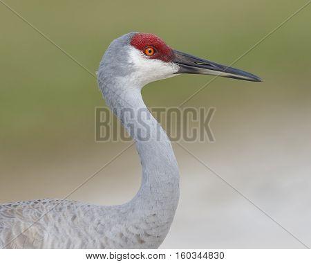 Closeup Of A Sandhill Crane - Melbourne, Florida