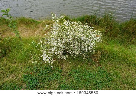 Frost asters (Symphyotrichum pilosum), also called hair asters and hairy white oldfield asters, bloom next to a small, man-made lake in Joliet, Illinois, during October.