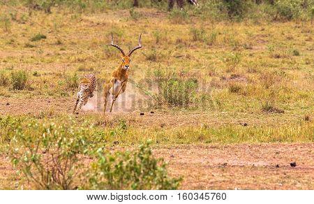 Hunting cheetah. Beauty of wild cat. Masai Mara, Kenya