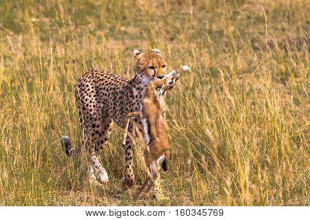 Proud hunter. Cheetah hunting, Masai Mara, Kenya