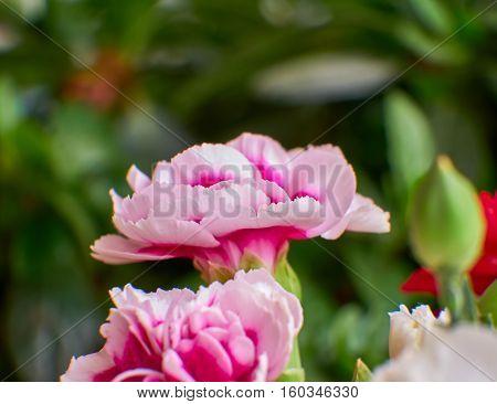 carnation flower closeup in the garden strong bokeh