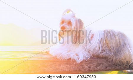 Beautiful dog lying on the wooden floor.
