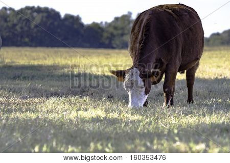 Red and white crossbred commercial cow grazing in a drought pasture