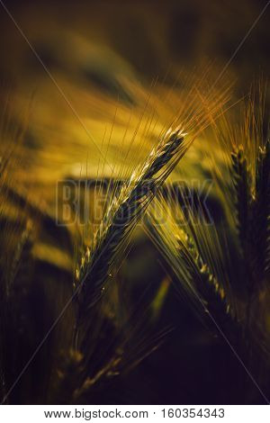 Barley ears in field grain cereals growing in cultivated field selective focus