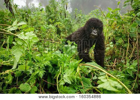 Front view of expressive young mountain gorilla looking at the camera in the wilderness of the forest