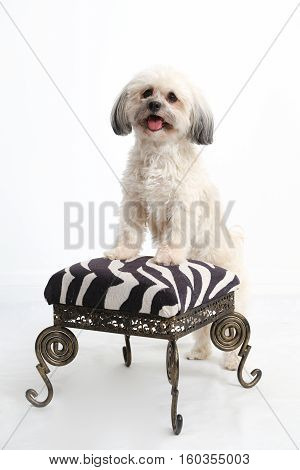 Studio portrait of a fluffy white Havanese dog standing with his paws on a stool