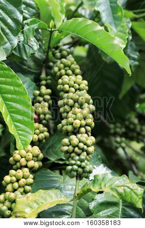 Closeup of coffee fruit in coffee farm and plantations in province of Lam Dong Vietnam