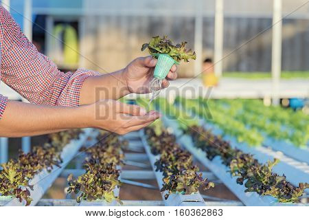 Hydroponic vegetable is planted in a gardenFresh organic vegetable in hydroponic vegetable field.