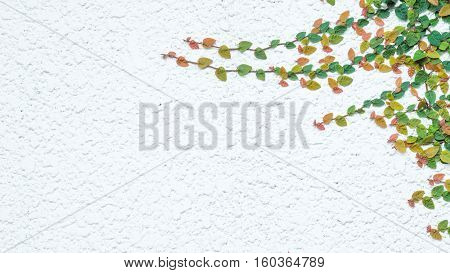 green ivy plants and wall background and texture concept - Beautiful little ivy leaves red orange yellow green on white cement wall and copyspace. Use for natural artwork.