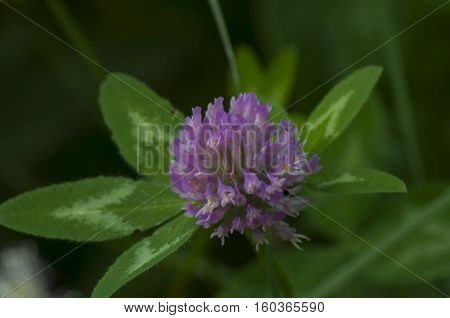 Lilac flower against the background of green leaves close up