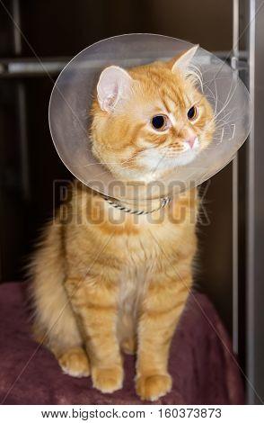 Red cat wearing a transparent plastic Elizabethan collar