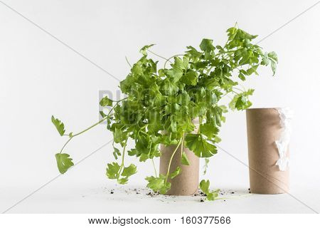 Toilet paper roll recycled as a seedling planters