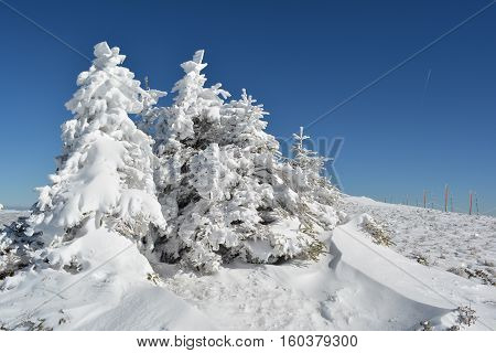 Group of small fir trees covered by snow snow drifts in foreground and row of pillars with safety rope in background on the top of mountain Kopaonik Serbia