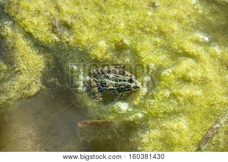 Frog Is In The Bright Green Pond Scum.