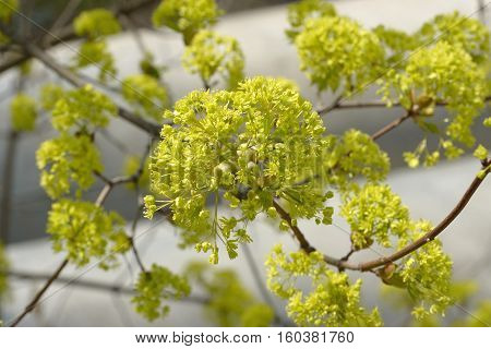 Close-up Of Norway Maple Flower Corymb In Bright Sunlight.