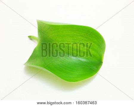 water Hyacinth leaf on a white background.