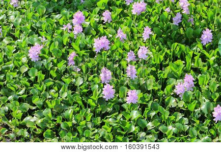 Water hyacinth flower in natural Beautiful .