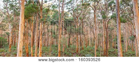 The Boranup Karee Forest near the town of Margaret River Western Australia.