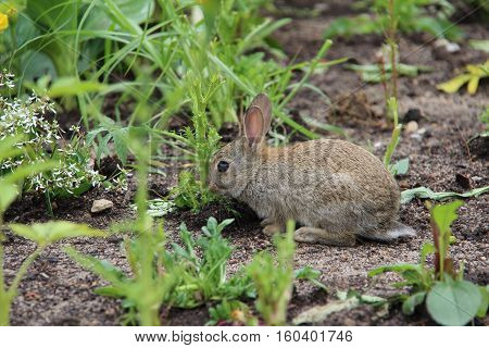 Rabbit / Little gray rabbit nibbling grass