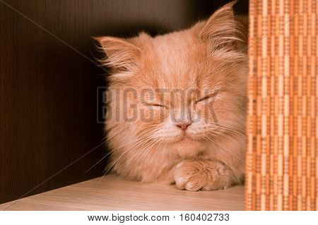 Ginger Cat Face Sleeping Or Purring Indoor