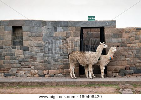 Lama and Alpaca on street of Cusco Peru South America