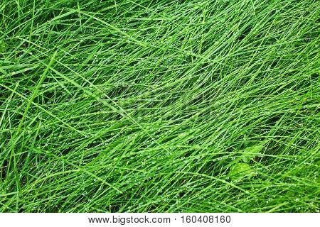 Green grass background after rain. Natural background