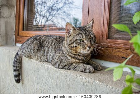Close up of domestic short-haired tabby tomcat lying on window of the house