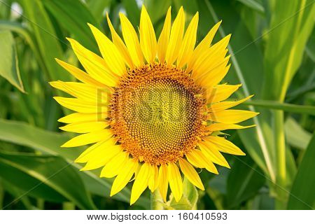Sunflower on blurred green background. Close up.