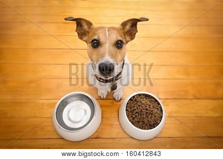 hungry jack russell dog behind food bowl and water bowl isolated wood background at home and kitchen