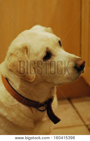 A white labrador dog against a background of wood-effect furniture and tiles. Taken in Upton-by-Chester, England, UK.