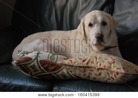 A surprised white labrador dog rests on a dark green leather sofa, looking sheepishly at the camera. Taken in Upton-by-Chester, England, UK.