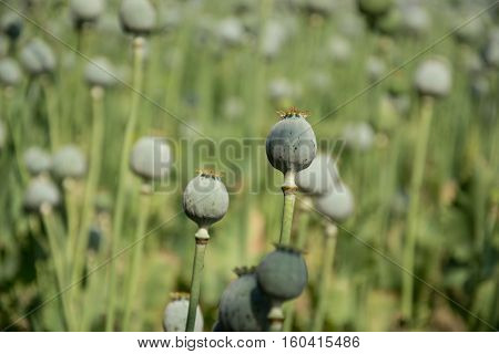Unripe Green Poppies Heads. Poppy-heads Field