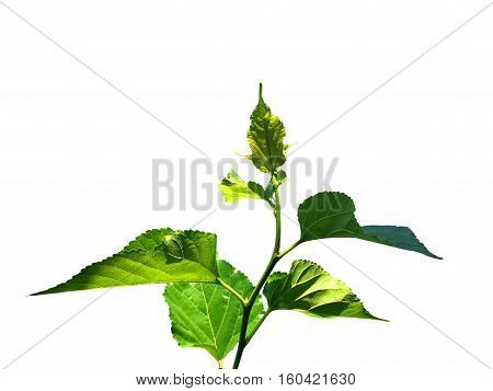The young shoots of mulberry leaves on a white background.