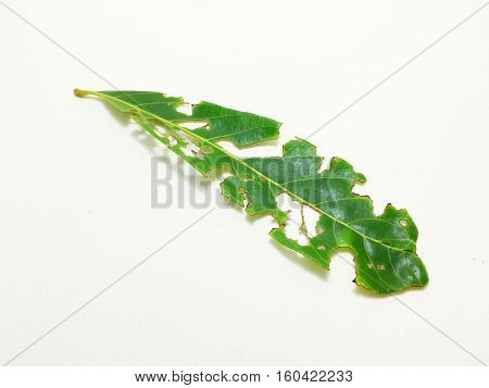 The leaves of the tree fruits, insects and worms are eaten on a white background.