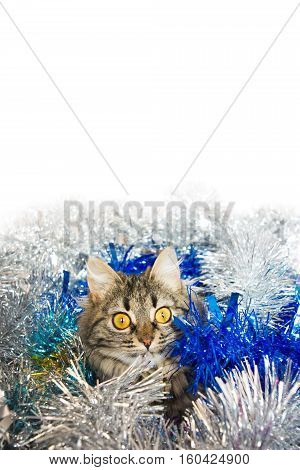 Photo by striped cat in the silver and blue tinsel. White background. Vertical.