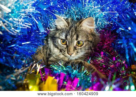 Photo by bewildered cat look out colored tinsel.
