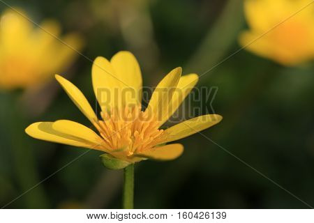 Close up of a Lesser Celandine flower
