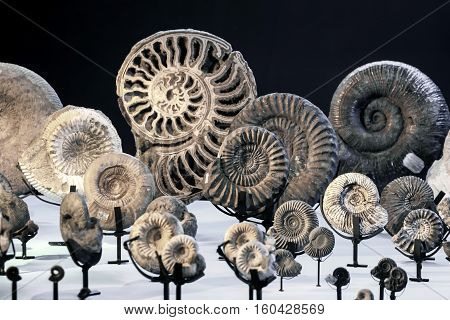a pile of nautilus fossil on exhibition