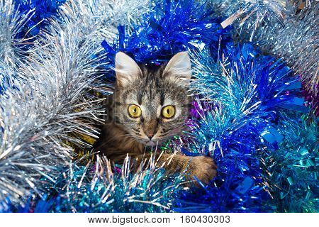 Photo by pretty striped cat look out blue and silver tinsel.