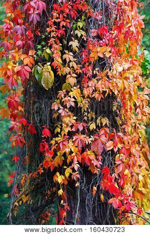 Red virginia creeper leaves. Bright autumn foliage. Climbing plant in autumn. Vertical shot.