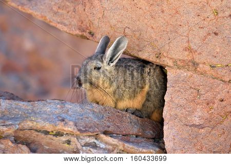 Viscachas or vizcachas. They are chinchillas but look similar to rabbits. The southern viscacha occurs in southern Peru southern and western Bolivia.