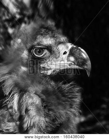 black vulture Cinereous Black Vulture looks stern look portrait close-up