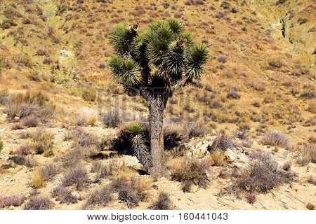Lone Joshua Tree surrounded by sagebrush taken in the Mojave Desert, CA