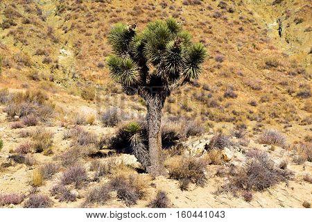Lone Joshua Tree surrounded by sagebrush taken in the Mojave Desert, CA