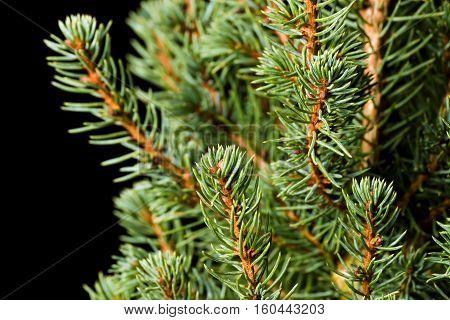 Christmas Tree. Pine tree closeup. Fir tree branches macro. Canadian blue spruce.