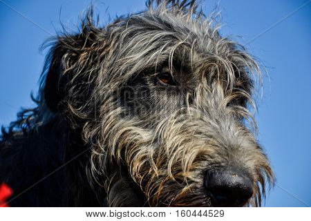 Portrait of beautiful grey Irish wolfhound dog posing in the garden. Close up of happy gray and black dog